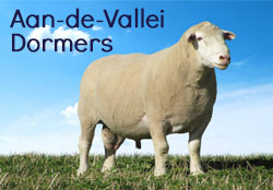 Dormer Sheep Stud established in 1964 by the late Piet de Wet.